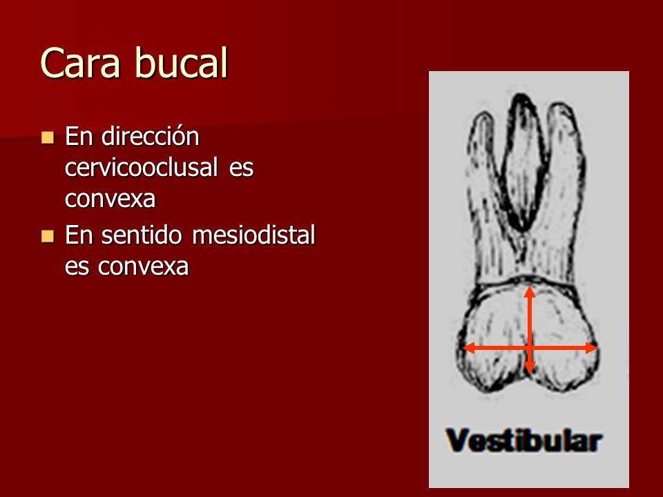 Cara bucal En dirección cervicooclusal es convexa En dirección cervicooclusal es convexa En sentido mesiodistal es convexa En sentido mesiodistal es c