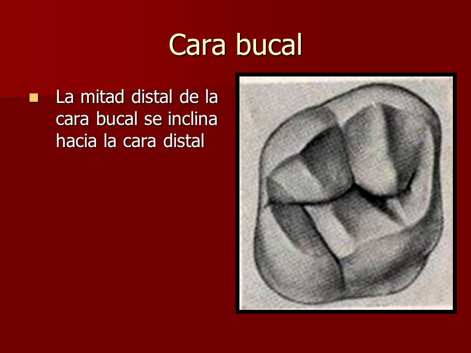 Cara bucal La mitad distal de la cara bucal se inclina hacia la cara distal La mitad distal de la cara bucal se inclina hacia la cara distal
