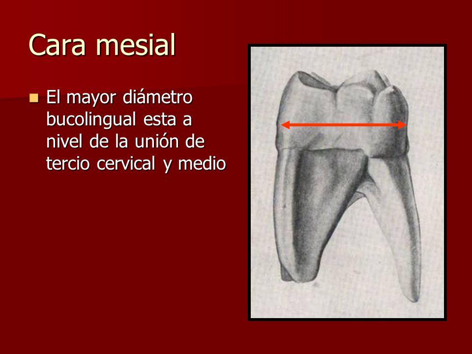 Cara mesial El mayor diámetro bucolingual esta a nivel de la unión de tercio cervical y medio El mayor diámetro bucolingual esta a nivel de la unión d