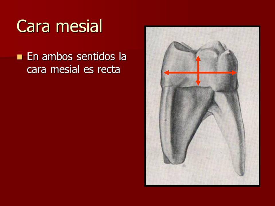 Cara mesial En ambos sentidos la cara mesial es recta En ambos sentidos la cara mesial es recta