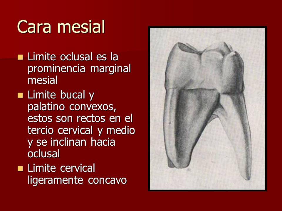 Cara mesial Limite oclusal es la prominencia marginal mesial Limite oclusal es la prominencia marginal mesial Limite bucal y palatino convexos, estos