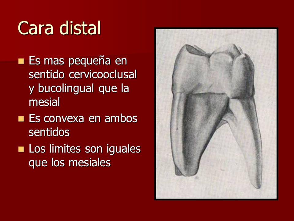 Cara distal Es mas pequeña en sentido cervicooclusal y bucolingual que la mesial Es mas pequeña en sentido cervicooclusal y bucolingual que la mesial