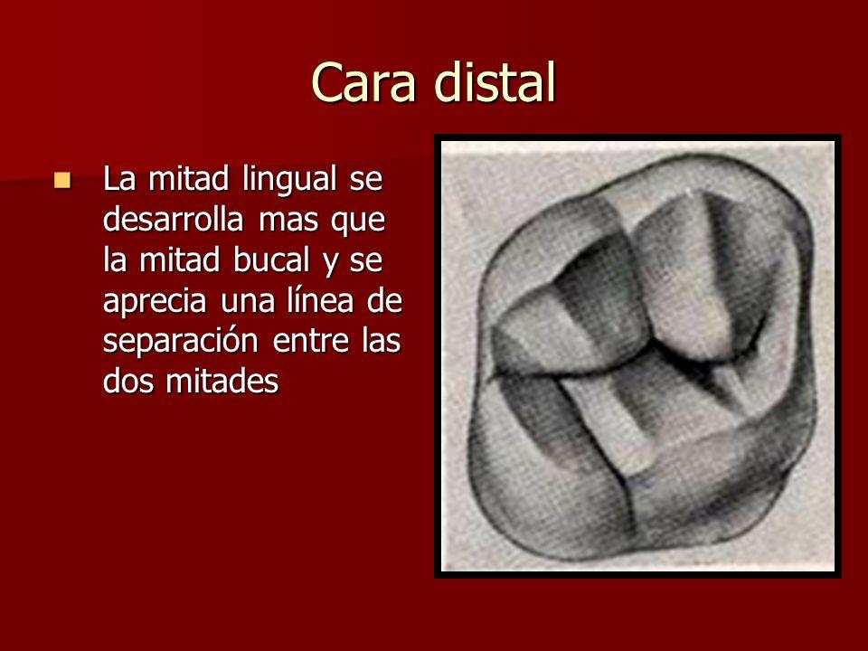 Cara distal La mitad lingual se desarrolla mas que la mitad bucal y se aprecia una línea de separación entre las dos mitades La mitad lingual se desar