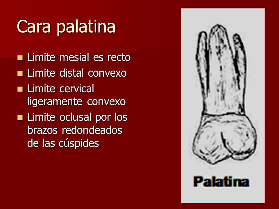 Cara palatina Limite mesial es recto Limite mesial es recto Limite distal convexo Limite distal convexo Limite cervical ligeramente convexo Limite cer
