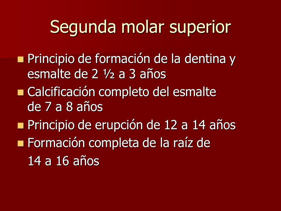 Principio de formación de la dentina y esmalte de 2 ½ a 3 años Principio de formación de la dentina y esmalte de 2 ½ a 3 años Calcificación completo d