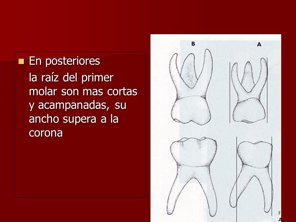 En posteriores En posteriores la raíz del primer molar son mas cortas y acampanadas, su ancho supera a la corona