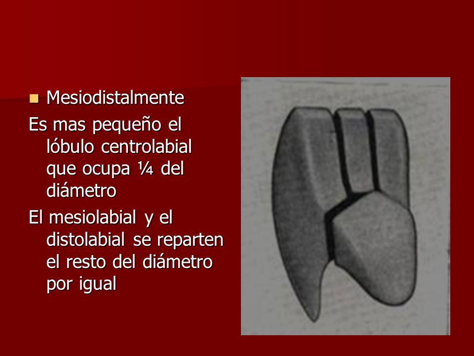 Mesiodistalmente Mesiodistalmente Es mas pequeño el lóbulo centrolabial que ocupa ¼ del diámetro El mesiolabial y el distolabial se reparten el resto