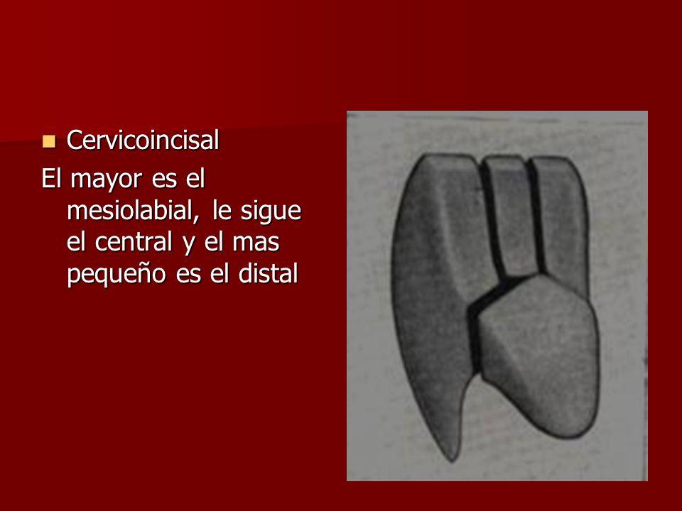 Cervicoincisal Cervicoincisal El mayor es el mesiolabial, le sigue el central y el mas pequeño es el distal