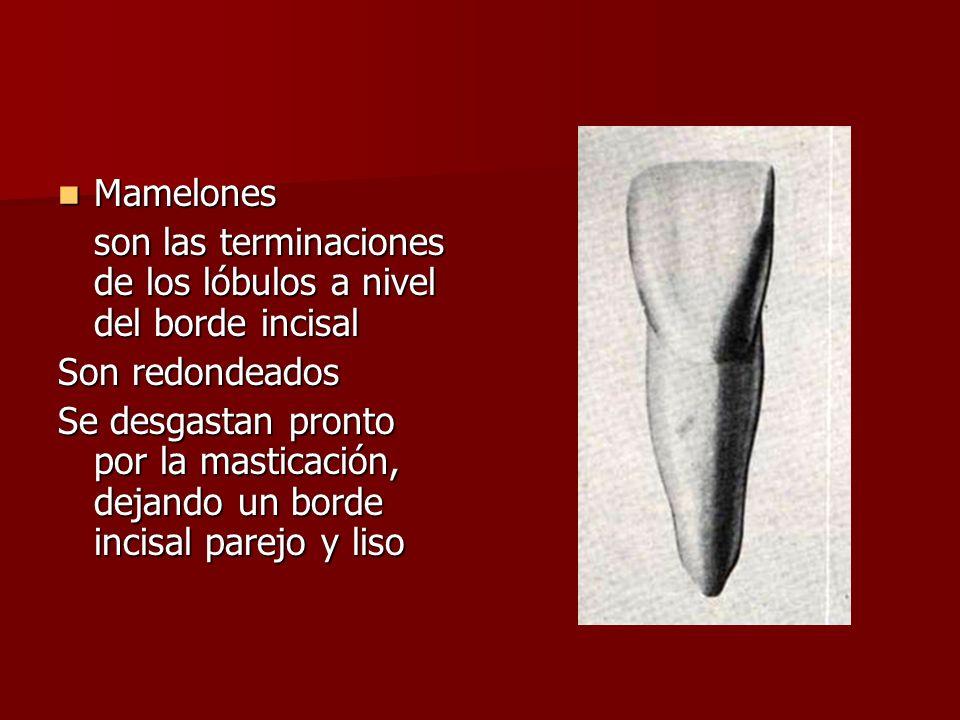 Mamelones Mamelones son las terminaciones de los lóbulos a nivel del borde incisal Son redondeados Se desgastan pronto por la masticación, dejando un