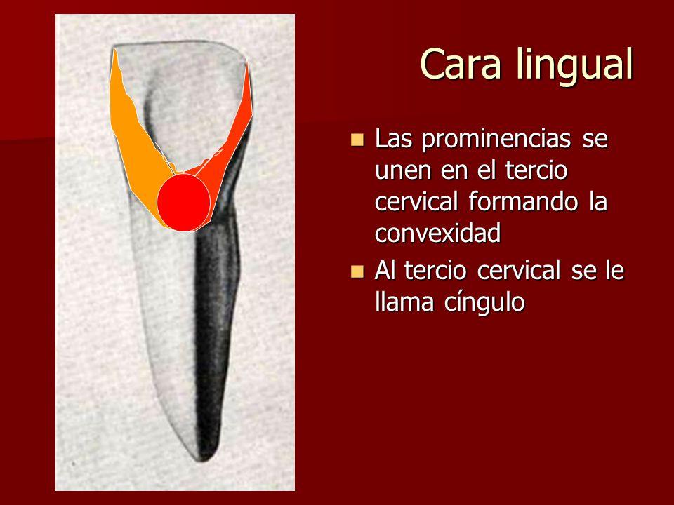 Cara lingual Las prominencias se unen en el tercio cervical formando la convexidad Las prominencias se unen en el tercio cervical formando la convexid