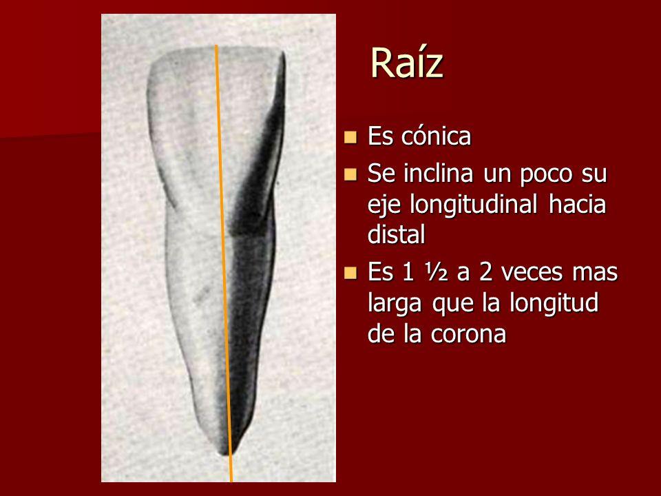 Raíz Raíz Es cónica Es cónica Se inclina un poco su eje longitudinal hacia distal Se inclina un poco su eje longitudinal hacia distal Es 1 ½ a 2 veces