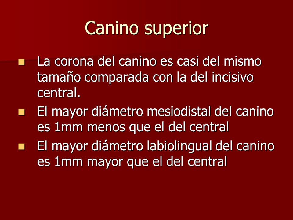 Canino superior La corona del canino es casi del mismo tamaño comparada con la del incisivo central. La corona del canino es casi del mismo tamaño com
