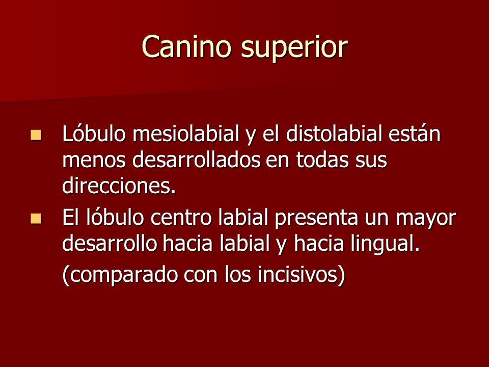 Canino superior Lóbulo mesiolabial y el distolabial están menos desarrollados en todas sus direcciones. Lóbulo mesiolabial y el distolabial están meno