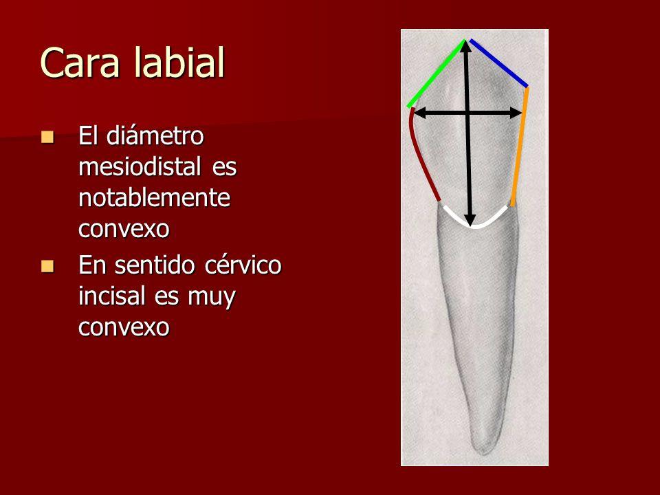 Cara labial El diámetro mesiodistal es notablemente convexo El diámetro mesiodistal es notablemente convexo En sentido cérvico incisal es muy convexo
