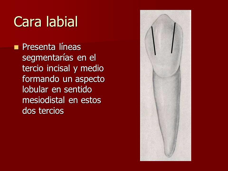 Cara labial Presenta líneas segmentarías en el tercio incisal y medio formando un aspecto lobular en sentido mesiodistal en estos dos tercios Presenta