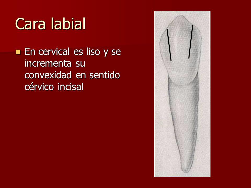 Cara labial En cervical es liso y se incrementa su convexidad en sentido cérvico incisal En cervical es liso y se incrementa su convexidad en sentido