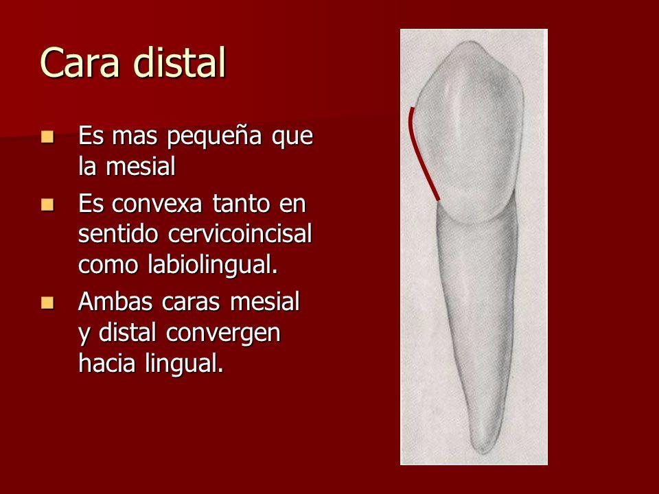 Cara distal Es mas pequeña que la mesial Es mas pequeña que la mesial Es convexa tanto en sentido cervicoincisal como labiolingual. Es convexa tanto e