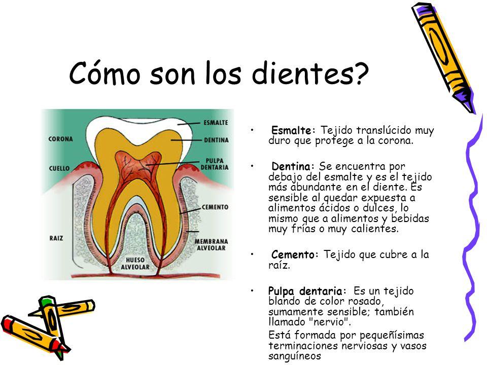 Cómo son los dientes? Esmalte: Tejido translúcido muy duro que protege a la corona. Dentina: Se encuentra por debajo del esmalte y es el tejido más ab