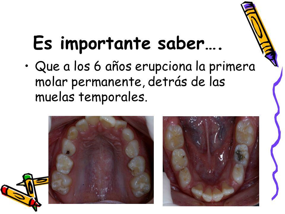 Es importante saber…. Que a los 6 años erupciona la primera molar permanente, detrás de las muelas temporales.