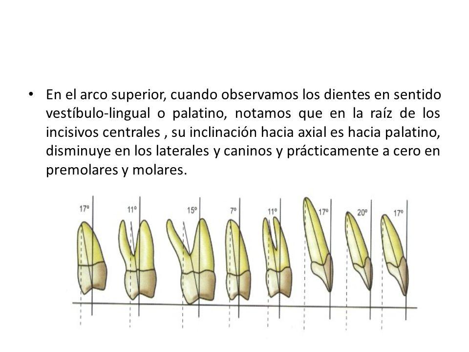 En el arco superior, cuando observamos los dientes en sentido vestíbulo-lingual o palatino, notamos que en la raíz de los incisivos centrales, su incl