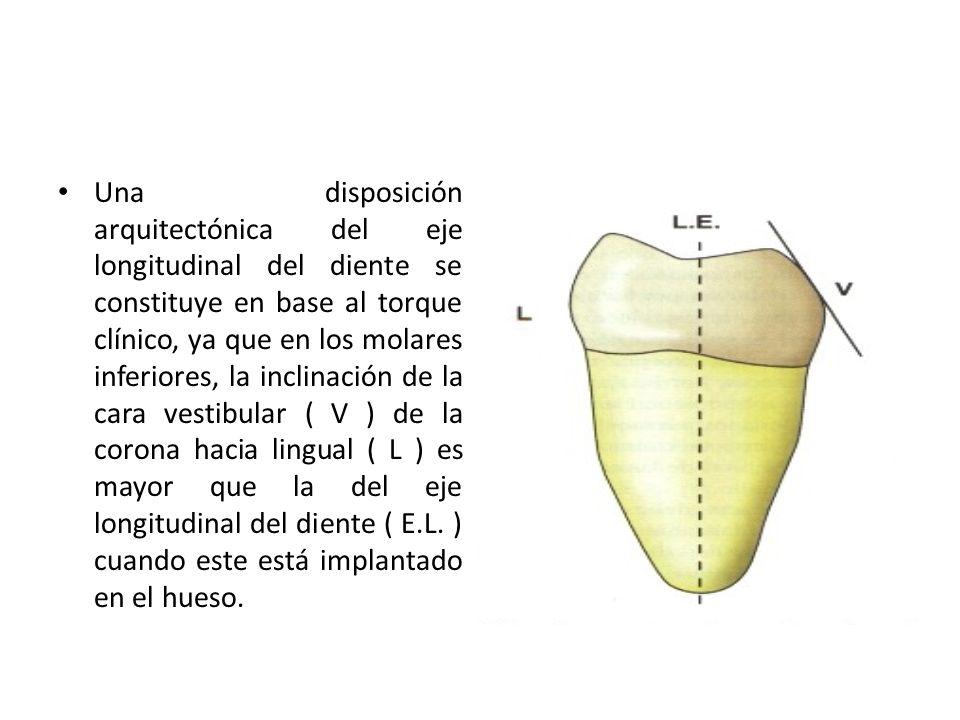 Una disposición arquitectónica del eje longitudinal del diente se constituye en base al torque clínico, ya que en los molares inferiores, la inclinaci