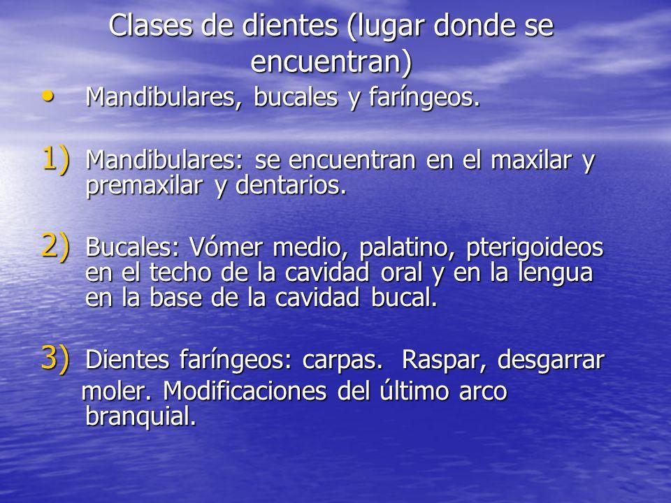 Clases de dientes (lugar donde se encuentran) Mandibulares, bucales y faríngeos. Mandibulares, bucales y faríngeos. 1) Mandibulares: se encuentran en