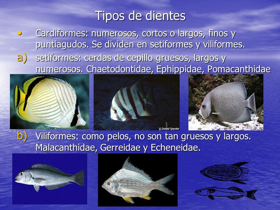 Tipos de dientes Cardiformes: numerosos, cortos o largos, finos y puntiagudos. Se dividen en setiformes y viliformes. Cardiformes: numerosos, cortos o
