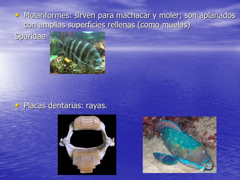 Molariformes: sirven para machacar y moler; son aplanados con amplias superficies rellenas (como muelas) Molariformes: sirven para machacar y moler; s