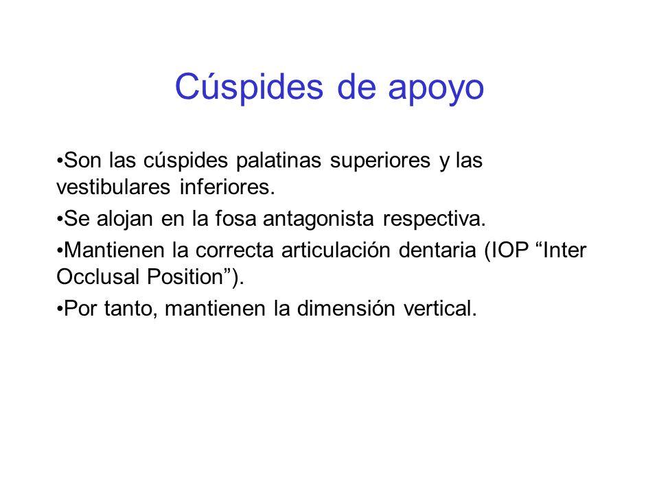 Cúspides de apoyo Son las cúspides palatinas superiores y las vestibulares inferiores. Se alojan en la fosa antagonista respectiva. Mantienen la corre