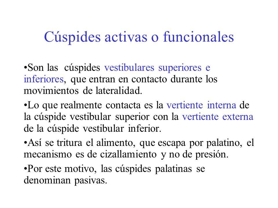 Cúspides activas o funcionales Son las cúspides vestibulares superiores e inferiores, que entran en contacto durante los movimientos de lateralidad. L