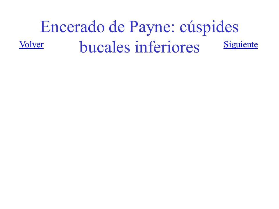 Encerado de Payne: cúspides bucales inferiores VolverSiguiente
