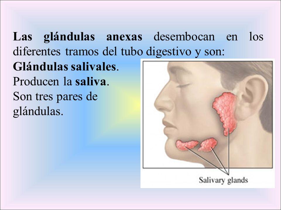 Las glándulas anexas desembocan en los diferentes tramos del tubo digestivo y son: Glándulas salivales. Producen la saliva. Son tres pares de glándula