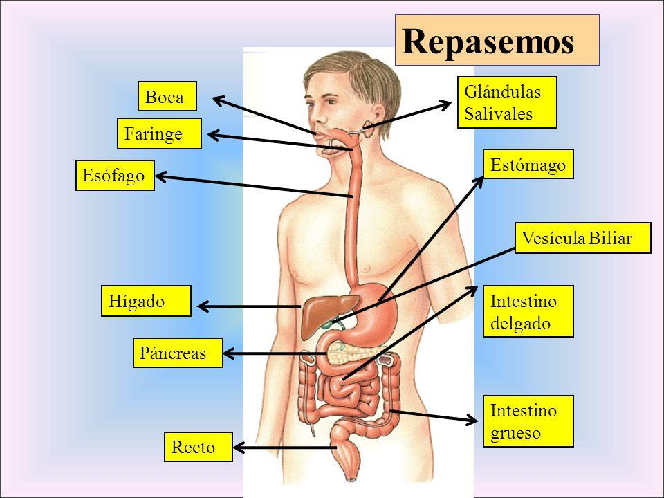 Glándulas Salivales Boca Esófago Estómago Vesícula Biliar Intestino delgado Hígado Recto Intestino grueso Páncreas Faringe Repasemos