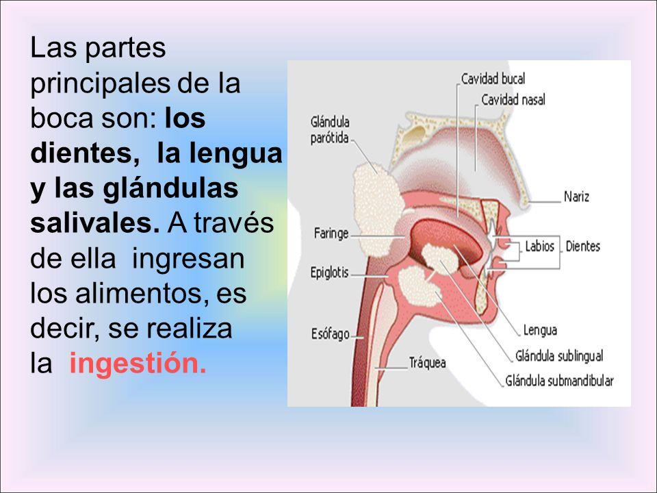 Las partes principales de la boca son: los dientes, la lengua y las glándulas salivales. A través de ella ingresan los alimentos, es decir, se realiza