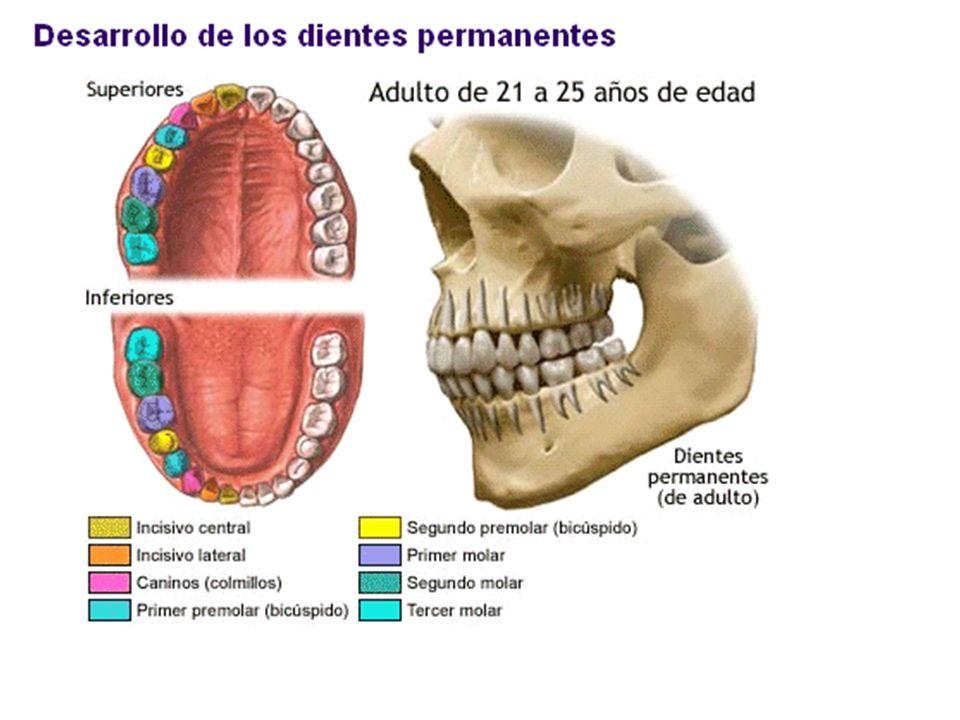 Alineación de los dientes La secuencia de la erupción de los dientes en la mandíbula superior e inferior se produce de forma ordenada.