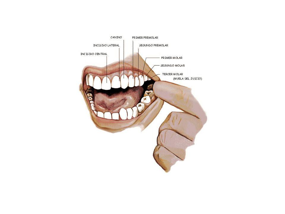 ESTRUCTURA DE LOS DIENTES En el ser humano, los dientes están formados por una parte externa denominada corona y una raíz que está inmersa en el maxilar.