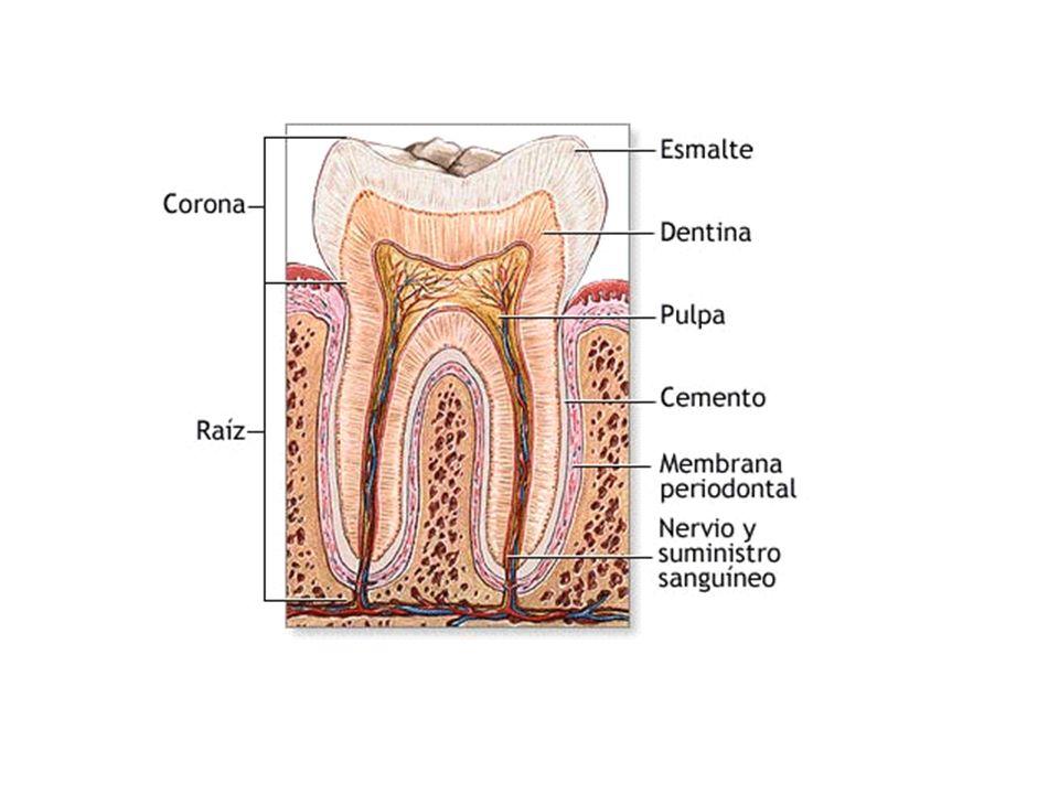 Desarrollo embriológico En el embrión humano, el desarrollo de la yema o primordio del diente se inicia en el segundo mes después de la concepción.