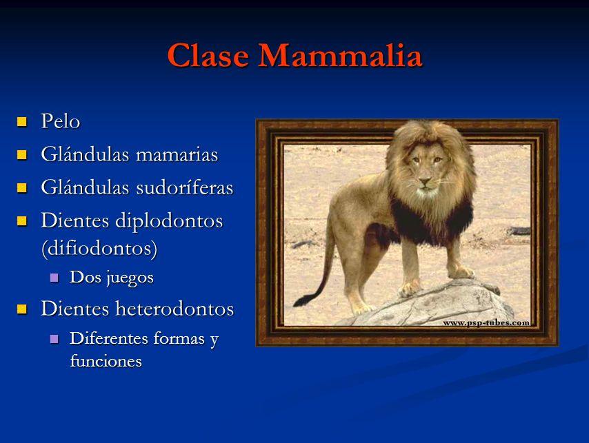 Clase Mammalia Pelo Pelo Glándulas mamarias Glándulas mamarias Glándulas sudoríferas Glándulas sudoríferas Dientes diplodontos (difiodontos) Dientes d