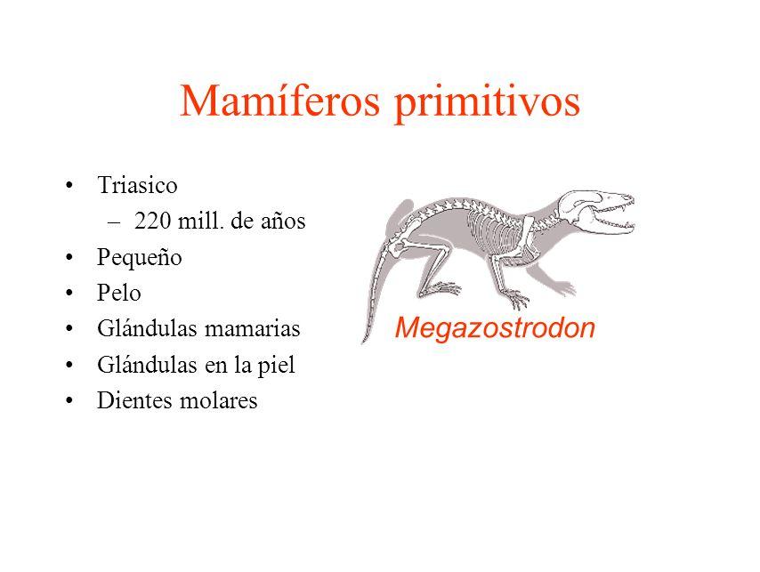 Mamíferos primitivos Triasico –220 mill. de años Pequeño Pelo Glándulas mamarias Glándulas en la piel Dientes molares Megazostrodon