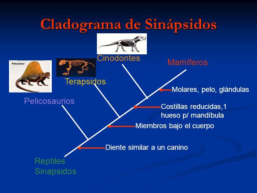 Mamíferos Cinodontes Terapsidos Pelicosaurios Diente similar a un canino Miembros bajo el cuerpo Costillas reducidas,1 hueso p/ mandíbula Molares, pel