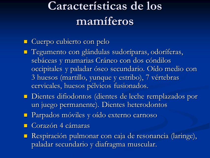 Características de los mamíferos Cuerpo cubierto con pelo Cuerpo cubierto con pelo Tegumento con glándulas sudoríparas, odoríferas, sebáceas y mamaria