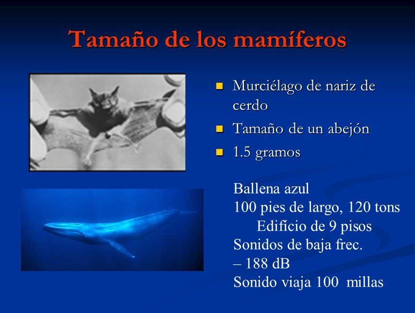 Tamaño de los mamíferos Murciélago de nariz de cerdo Tamaño de un abejón 1.5 gramos Ballena azul 100 pies de largo, 120 tons Edifício de 9 pisos Sonid