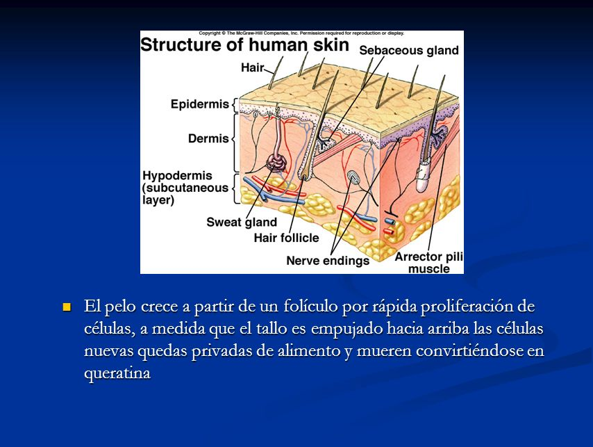 El pelo crece a partir de un folículo por rápida proliferación de células, a medida que el tallo es empujado hacia arriba las células nuevas quedas pr