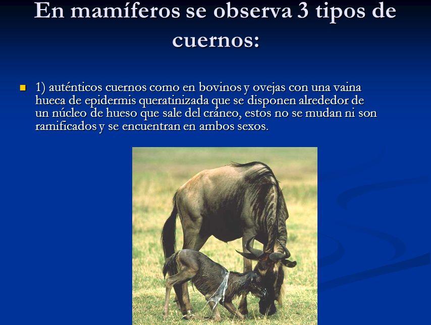 En mamíferos se observa 3 tipos de cuernos: 1) auténticos cuernos como en bovinos y ovejas con una vaina hueca de epidermis queratinizada que se dispo