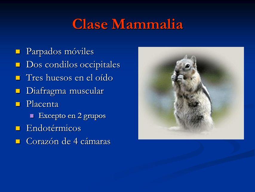 Clase Mammalia Parpados móviles Parpados móviles Dos condilos occipitales Dos condilos occipitales Tres huesos en el oído Tres huesos en el oído Diafr
