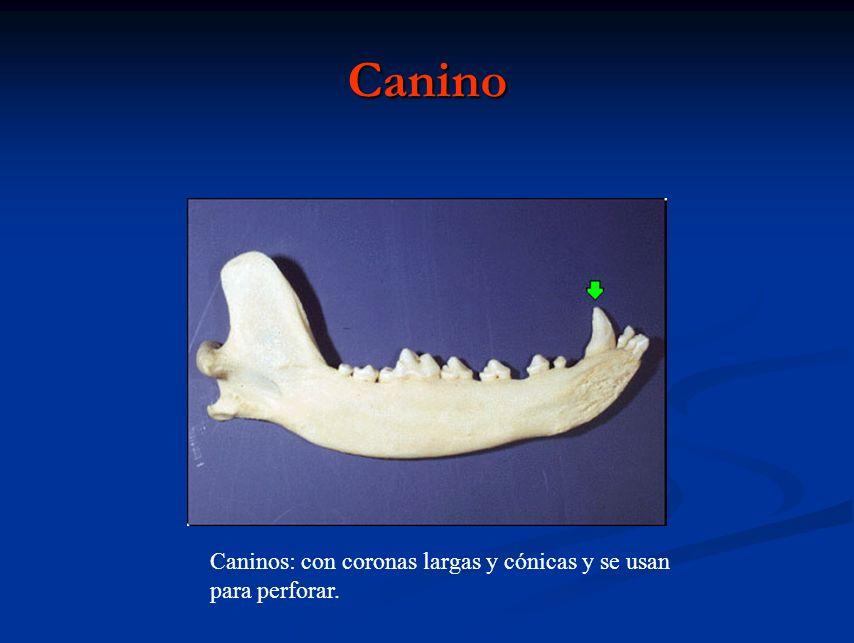 Canino Caninos: con coronas largas y cónicas y se usan para perforar.