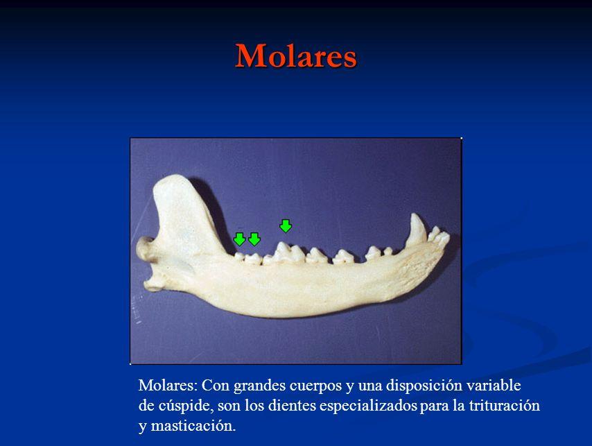 Molares Molares: Con grandes cuerpos y una disposición variable de cúspide, son los dientes especializados para la trituración y masticación.