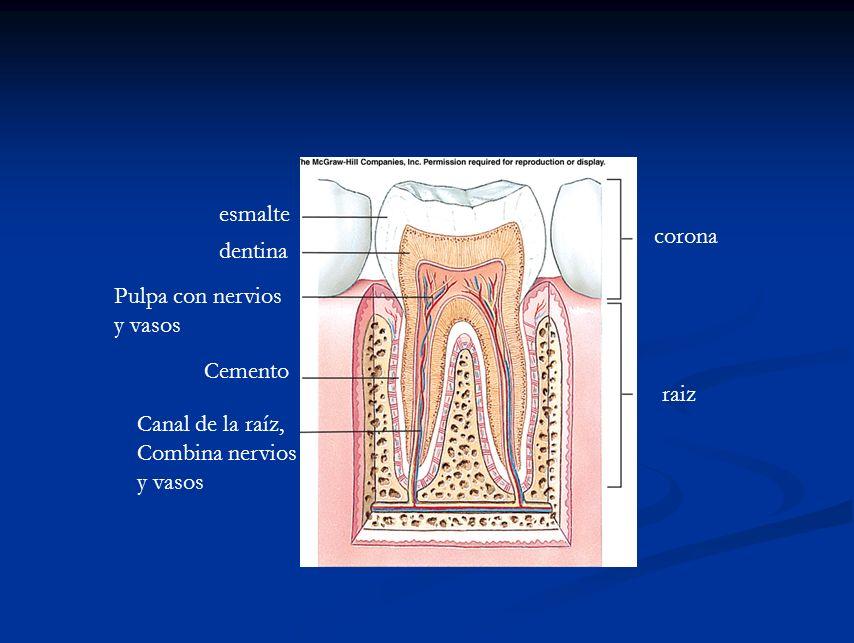 corona raiz Canal de la raíz, Combina nervios y vasos Cemento Pulpa con nervios y vasos dentina esmalte