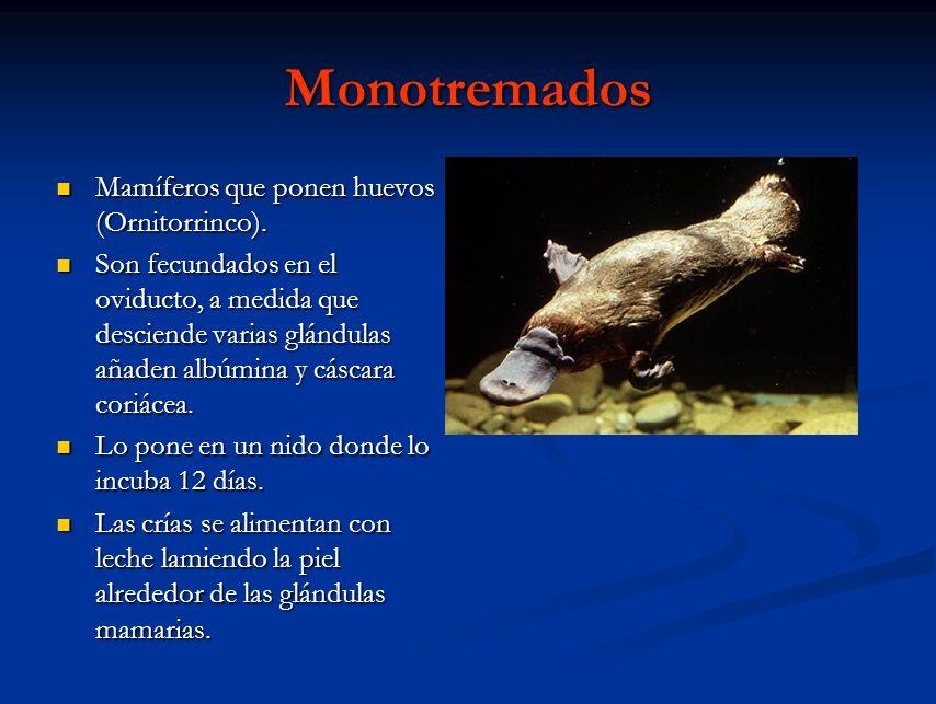 Monotremados Mamíferos que ponen huevos (Ornitorrinco). Mamíferos que ponen huevos (Ornitorrinco). Son fecundados en el oviducto, a medida que descien