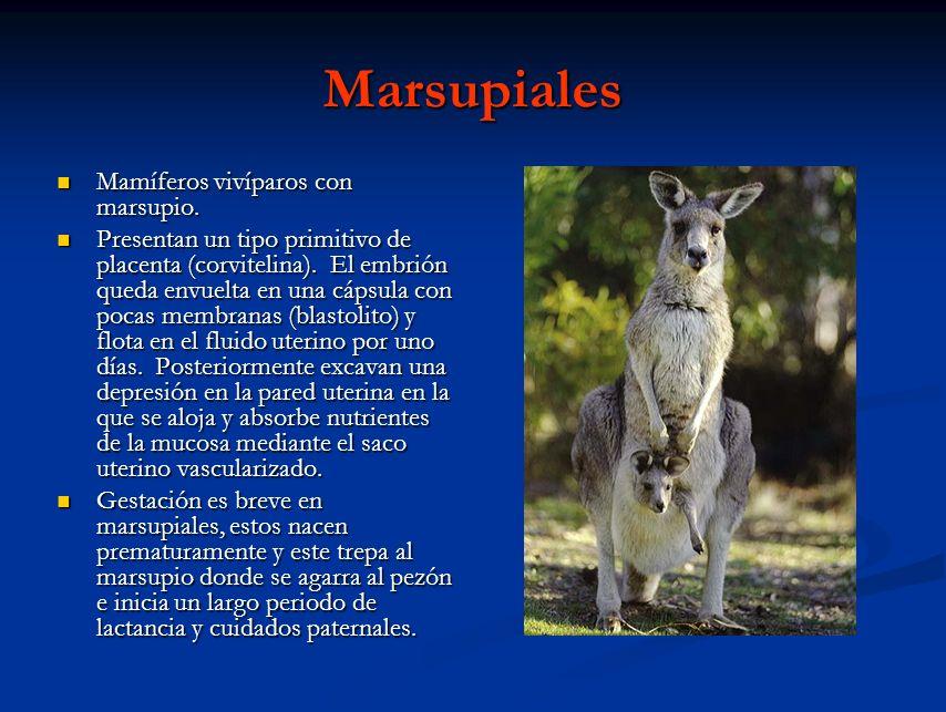 Marsupiales Mamíferos vivíparos con marsupio. Mamíferos vivíparos con marsupio. Presentan un tipo primitivo de placenta (corvitelina). El embrión qued